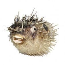 Рыба-ёж 11-12''
